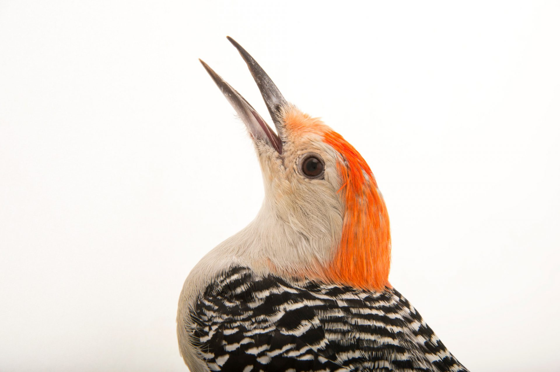 Picture of a red-bellied woodpecker (Melanerpes carolinus) named Birch, at the Boonshoft Museum of Discovery in Dayton, Ohio.
