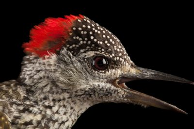 Golden-tailed woodpecker (Campethera abingoni) collected at Chitengo Camp in Gorongosa National Park.