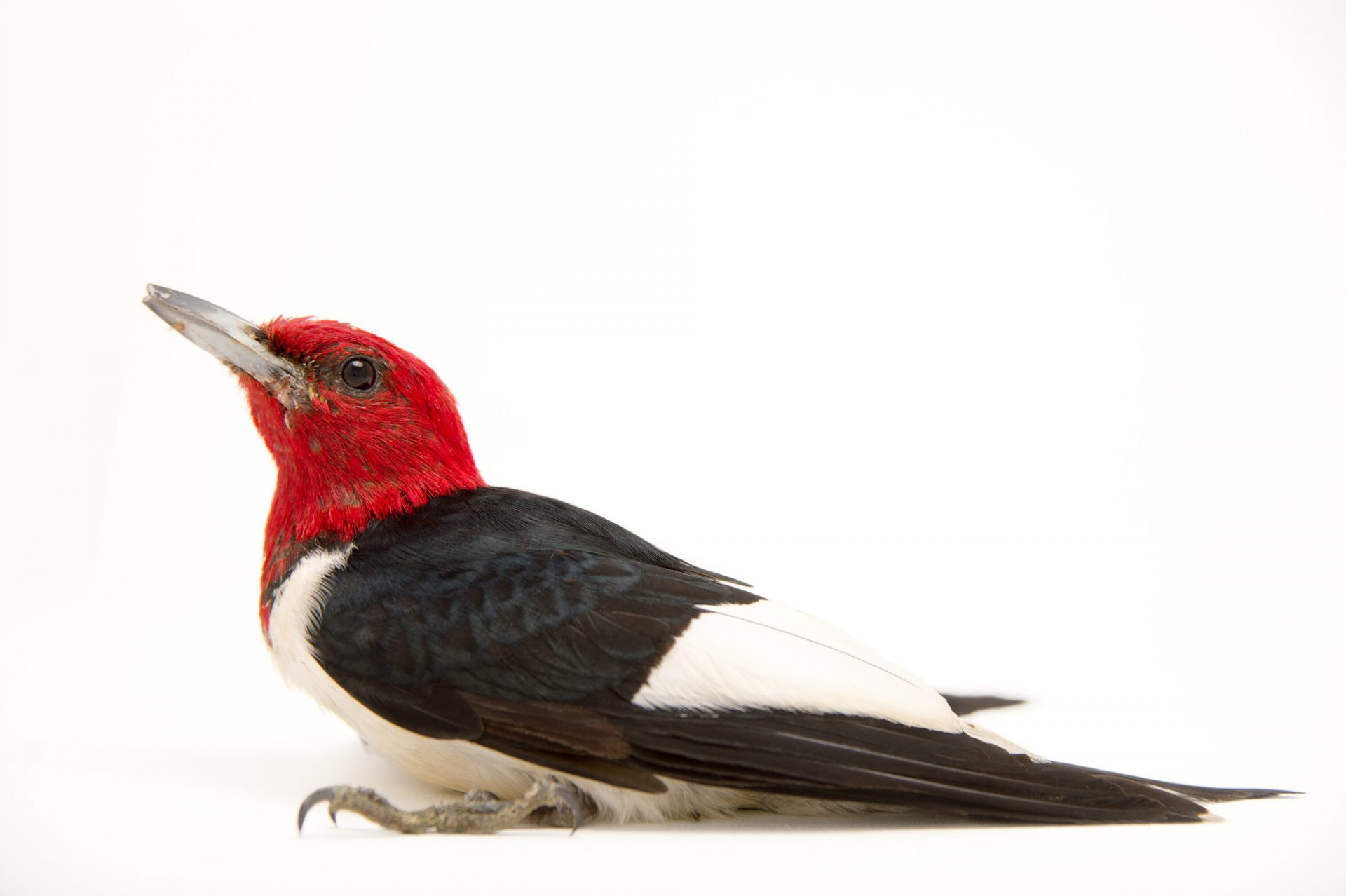 Picture of a red-headed woodpecker (Melanerpes erythrocephalus) at the Nebraska Wildlife Rehab, Inc.