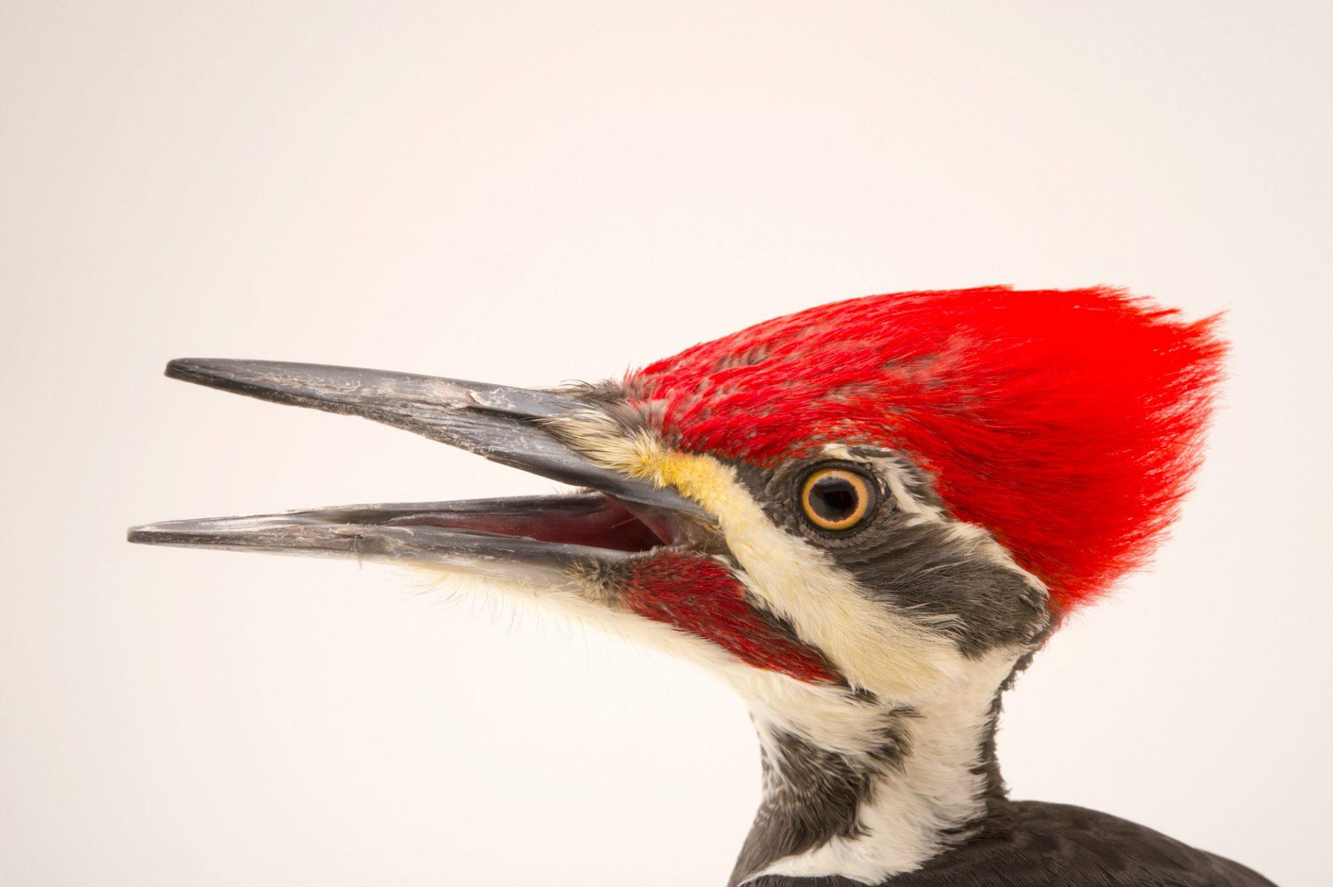 Picture of a Pileated woodpecker (Dryocopus pileatus abietcola) at the Virginia Aquarium.
