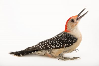 Picture of a red-bellied woodpecker (Melanerpes carolinus) at St. Francis Wildlife.