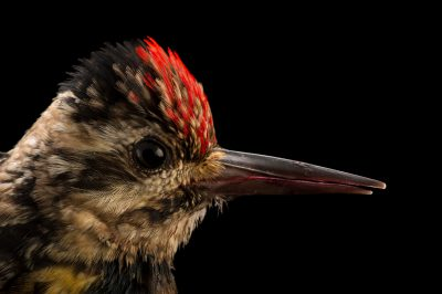 Photo: A female yellow-bellied sapsucker (Sphyrapicus varius) at St. Francis Wildlife, a rehab center in Quincy, FL.