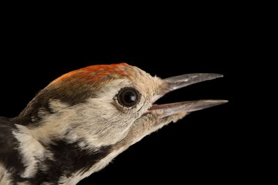 Picture of a young middle-spotted woodpecker (Leiopicus medius) from the Budapest Zoo.