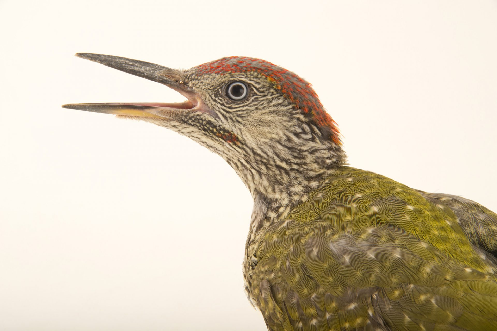 Photo: A young European green woodpecker (Picus viridis) from the Budapest Zoo.