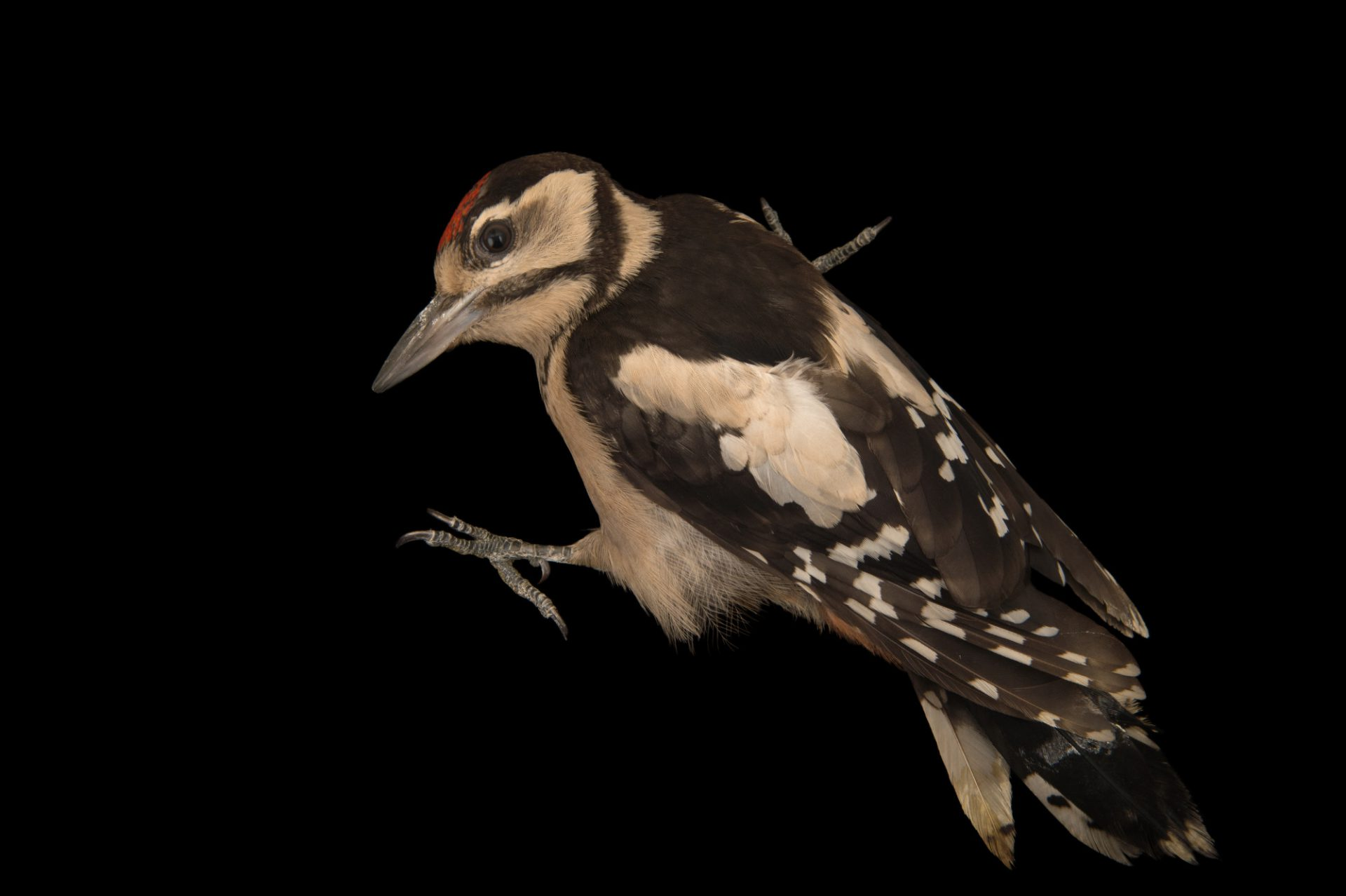 Great spotted woodpecker (Dendrocopos major pinetorum) from the Budapest Zoo.