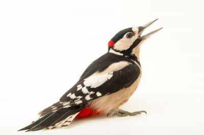 Photo: A great spotted woodpecker (Dendrocopos major pinetorum) at the Plzen Zoo.
