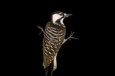 Picture of a vulnerable (IUCN) and federally endangered female red-cockaded woodpecker (Picoides borealis) at Tall Timbers Research Station and Land Conservancy.
