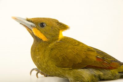Photo: Greater yellownape woodpecker (Picus flavinucha mystacalis) at the Plzen Zoo in the Czech Republic.