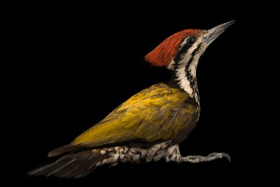 Common flameback woodpecker (Dinopium javanense javanense) at Penang Bird Park.