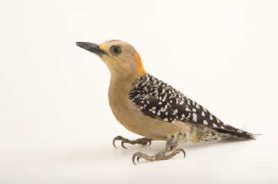 Photo: A female red crowned woodpecker (Melanerpes rubricapillus) at the National Aviary of Colombia.