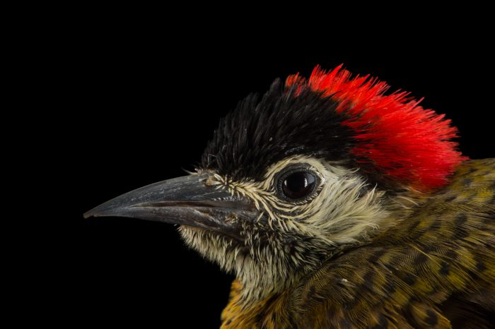 Photo: A female spot breasted woodpecker (Colaptes punctigula) at the National Aviary of Colombia.