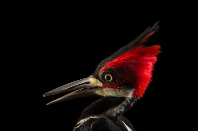 Photo: A female crimson crested woodpecker (Campephilus melanoleucos) at the National Aviary of Colombia.