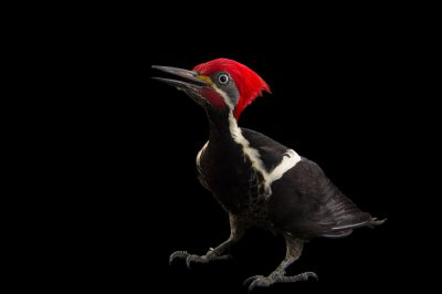 Photo: A male lineated woodpecker (Dryocopus lineatus) at the National Aviary of Colombia.
