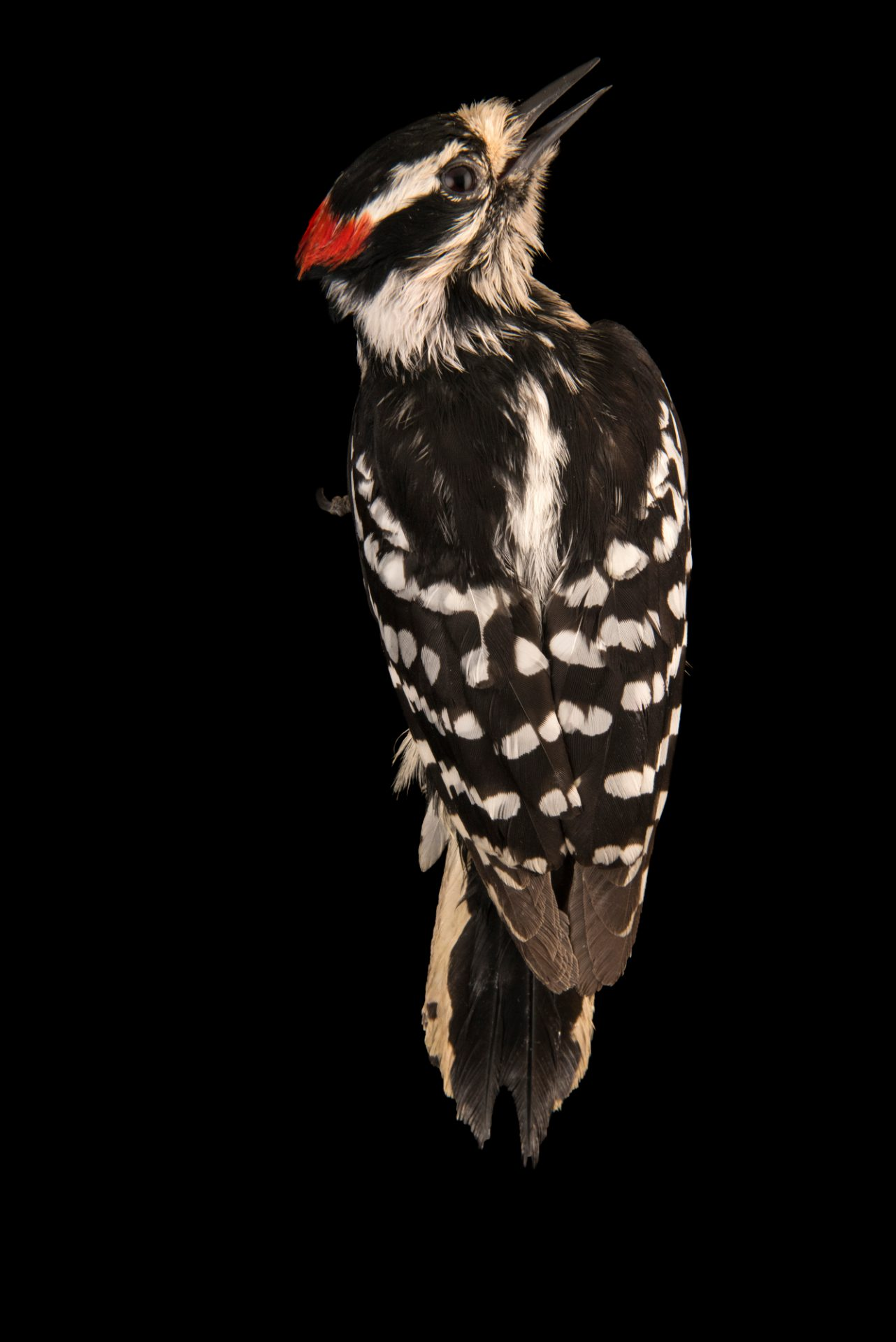 Photo: A male downy woodpecker (Dryobates pubescens) at the Wildlife Rehabilitation Center in Roseville, Minnesota.