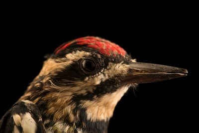 Photo: A male yellow-bellied Sapsucker (Sphyrapicus varius) at Bay Beach Wildlife Sanctuary