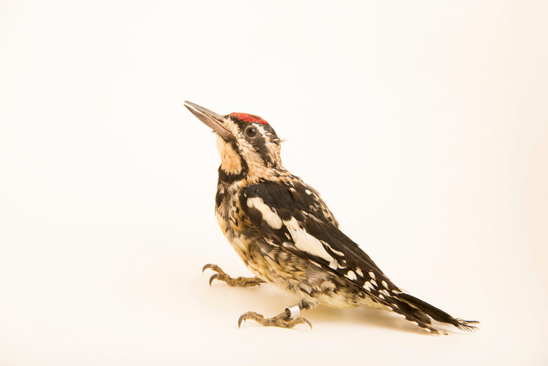 A female yellow-bellied Sapsucker (Sphyrapicus varius) at Bay Beach Wildlife Sanctuary.