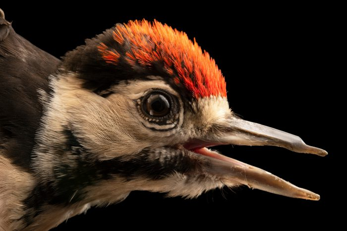 A great spotted woodpecker (Dendrocopos major pinetorum) at Hessilhead Wildlife Rescue.