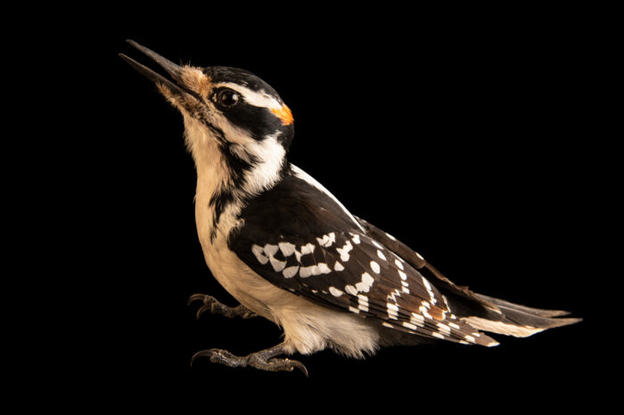 Photo: A hairy woodpecker (Leuconotopicus villosus) at the Wildlife Rehabilitation Center of Minnesota.
