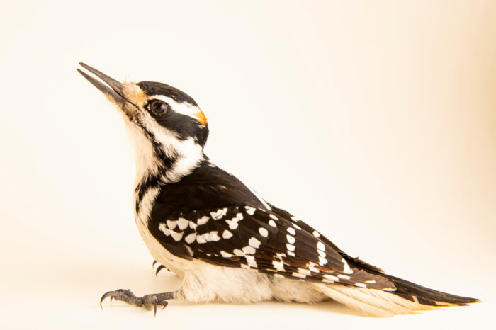 Photo: A hairy woodpecker (Leuconotopicus villosus) at the Wildlife Rehabilitation Center of Minnesota.