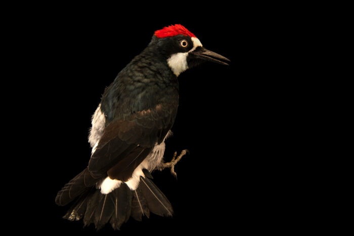 Photo: An acorn woodpecker (Melanerpes formicivorus bairdi) at the Big Bear Alpine Zoo. This bird's name is Narwhal.