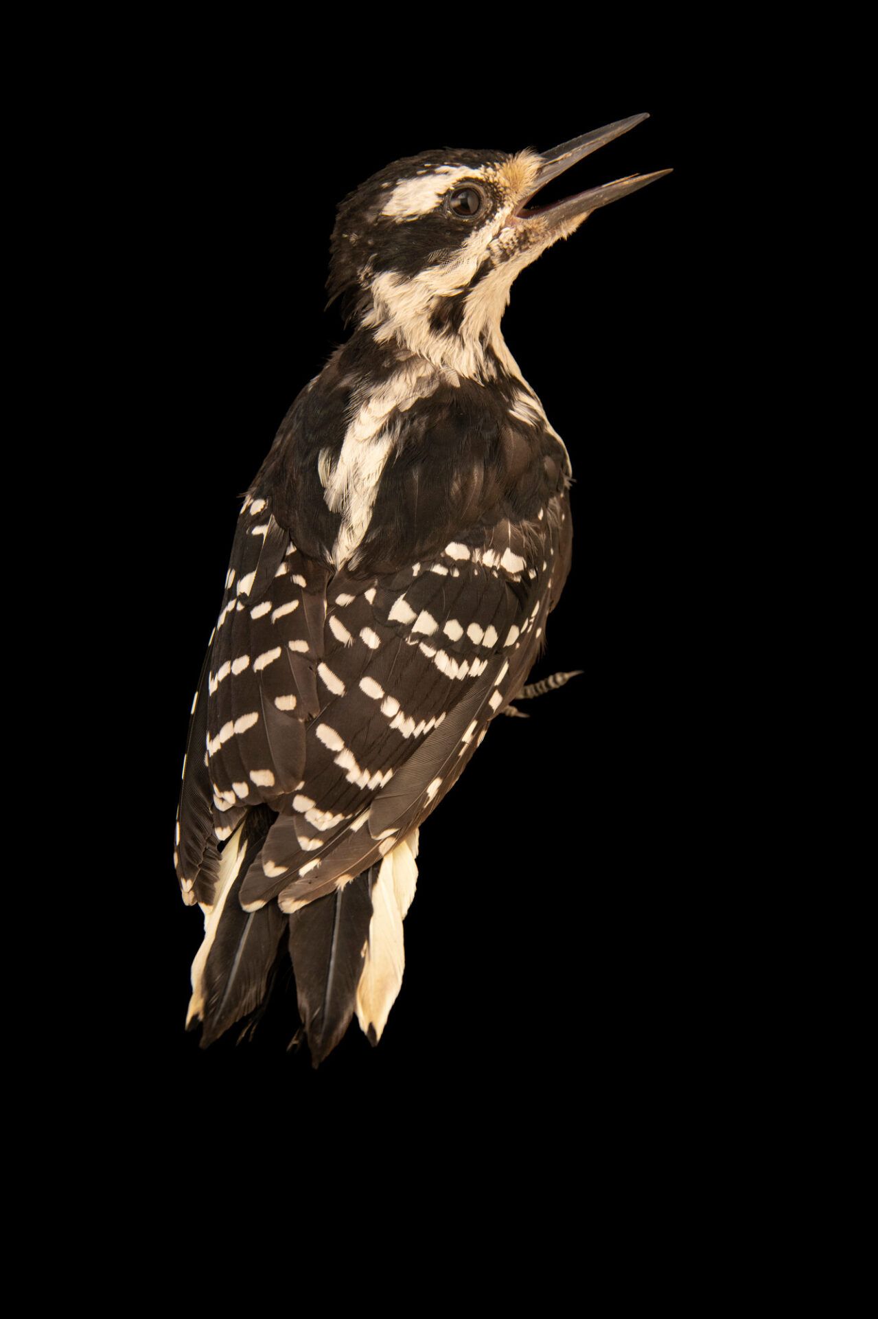 Photo: A female hairy woodpecker (Leuconotopicus villosus villosus) wild caught at Rum River Central Park.