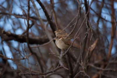 Photo: English sparrows (house sparrows) in Lincoln, NE.