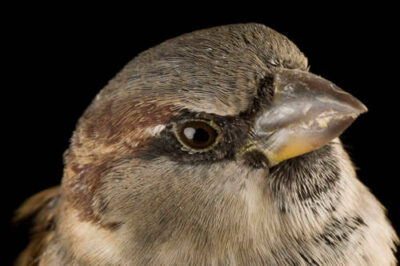 Photo: An English sparrow (house sparrow).