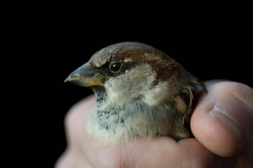 Photo: An English sparrow (also known as a house sparrow). This animal flew into a window of a building, a very common cause of injury and death to wild birds.