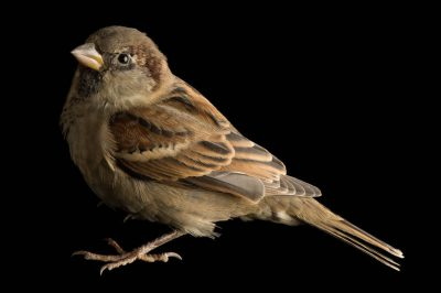 A captive English/house sparrow (Passer domesticus) photographed at a studio in Lincoln, NE.