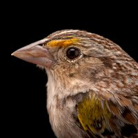 A federally endangered male Florida grasshopper sparrow (Ammodramus savannarum floridanus). This sparrow was photographed inside of a shooting tent at the Kissimmee Prairie Preserve State Park, one of the last examples of Florida dry prairie which is an essential habitat for species like this one.