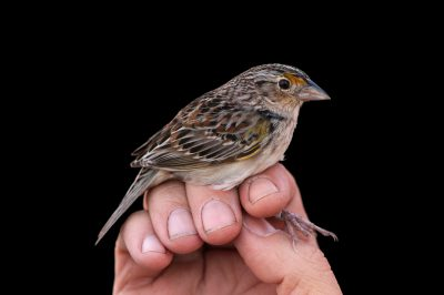 A biologist studies a federally endangered male Florida grasshopper sparrow (Ammodramus savannarum floridanus). This sparrow was photographed inside of a shooting tent at the Kissimmee Prairie Preserve State Park, one of the last examples of Florida dry prairie which is an essential habitat for species like this one.