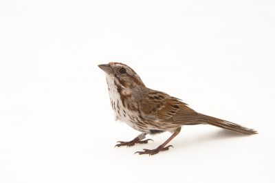 Picture of a song sparrow (Melospiza melodia montana) from the wild in Utah.