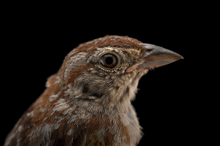 A near threatened Bachman's sparrow (Peucaea aestivalis aestivalis) caught and photographed at Kissimmee Prairie Preserve State Park, Okeechobee, Florida.