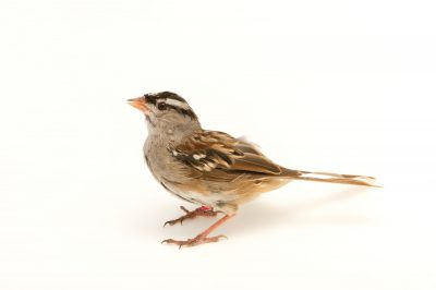 Picture of a White-crowned sparrow (Zonotrichia leucophrys) at the Columbus Zoo.