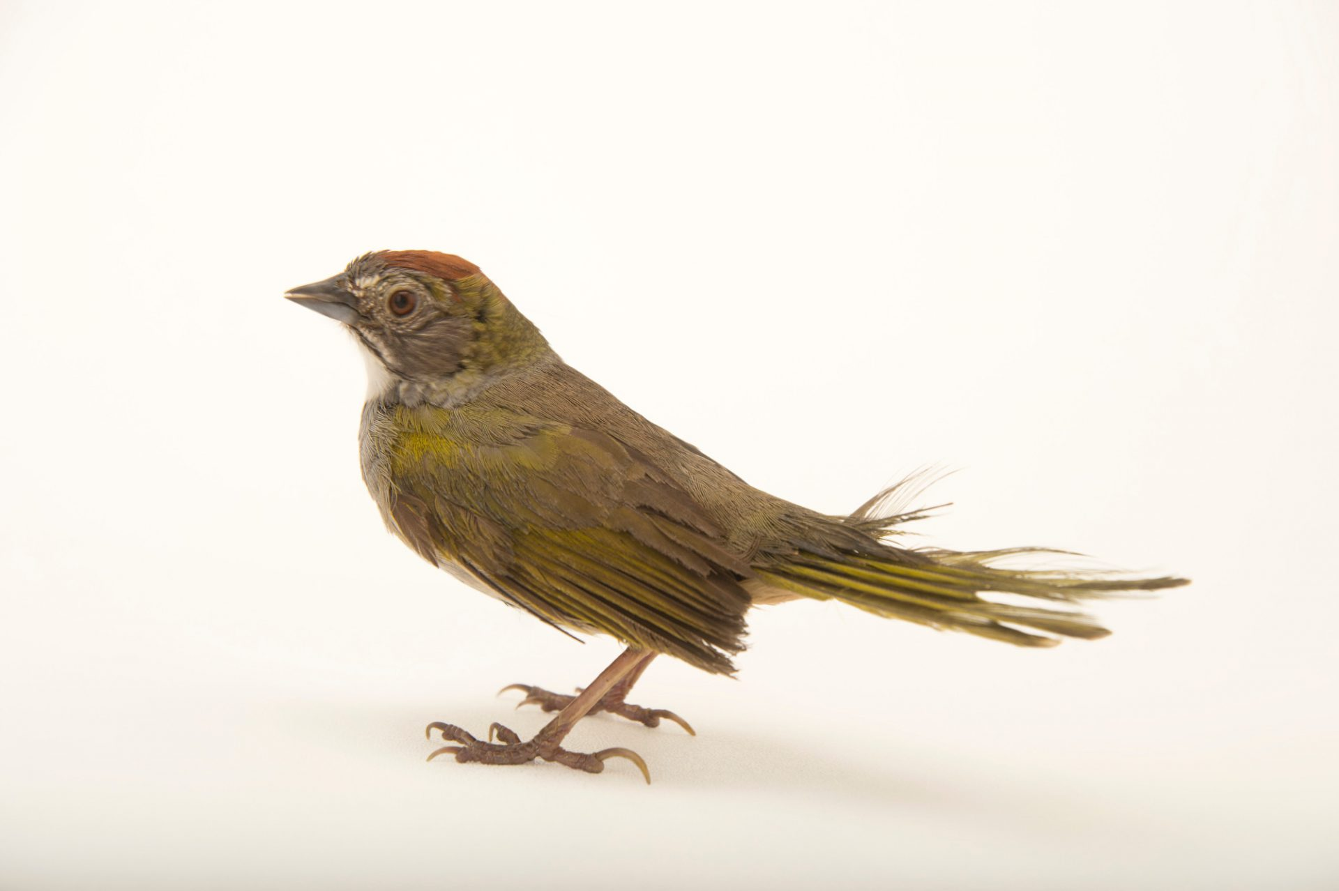Picture of a green-tailed towhee (Pipilo chlorurus) at the Wildlife Rehabilitation Center of Northern Utah.