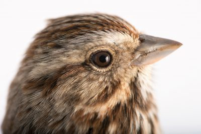 Picture of a song sparrow (Melospiza melodia) at Tall Timbers Research Station and Land Conservancy.