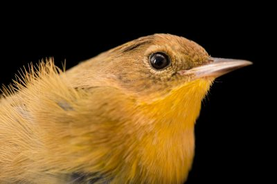 Picture of a female yellowthroat (Geothlypis trichas ignota) at Tall Timbers Research Station and Land Conservancy.