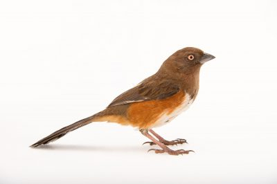 Picture of a female eastern towhee (Pipilo erythrophthalmus) at Tall Timbers Research Station and Land Conservancy.