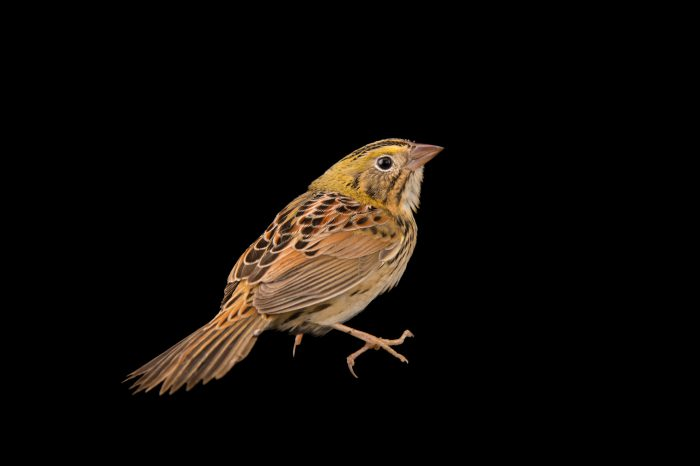 Picture of a Henslow's sparrow (Ammodramus henslowii) at the Elsoma Plantation near Thomasville, Georgia.