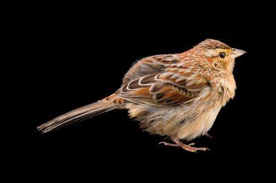 A Bachman's sparrow (Peucaea aestivalis aestivalis) at the Greenwood Plantation near Thomasville, Georgia.Peucaea aestivalis