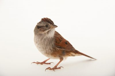 Picture of a swamp sparrow (Melospiza georgiana) at Tall Timbers Research Station and Land Conservancy.