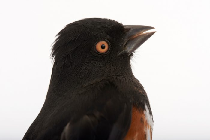 Picture of a rufous-sided towhee or Eastern towhee (Pipilo erythrophthalmus) at Tall Timbers Research Station and Land Conservancy.
