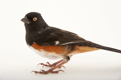 Picture of a Rufous-sided towhee or Eastern towhee (Pipilo erythrophthalmus) at Tall Timbers near Tallahassee.