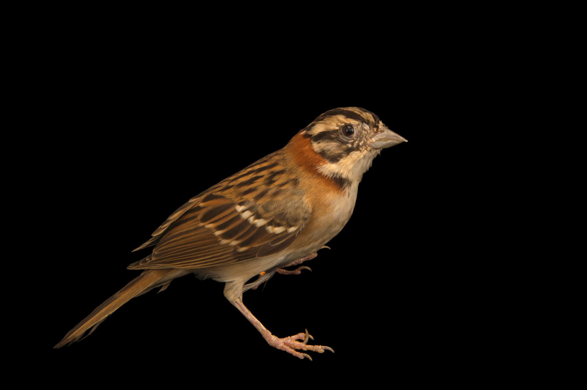 Photo: Rufous-collared sparrow (Zonotrichia capensis) at the Plzen Zoo in the Czech Republic.