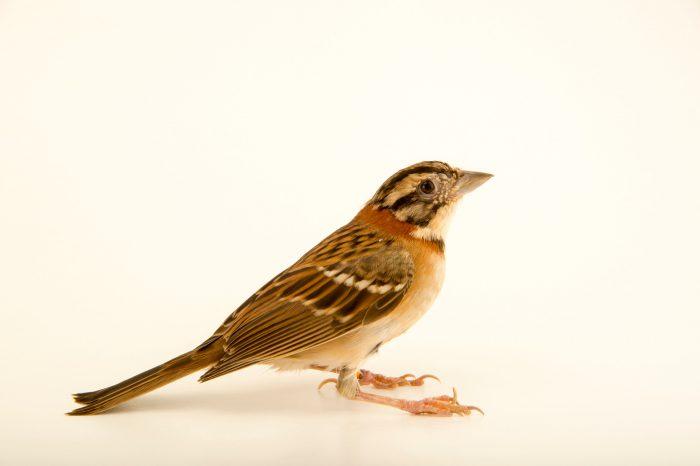 Photo: Rufous-collared sparrow (Zonotrichia capensis) at the Plzen Zoo in the Czech Republic.