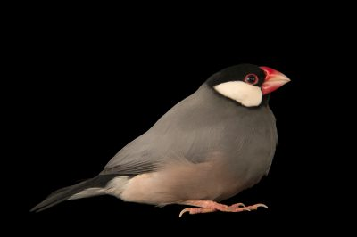 Java sparrow (Lonchura oryzivora) at the Plzen Zoo in the Czech Republic. This species is listed as vulnerable on IUCN.