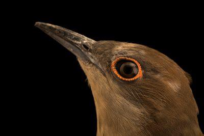 Photo: Black-billed cuckoo (Coccyzus erythropthalmus) at Bay Beach Wildlife Sanctuary.