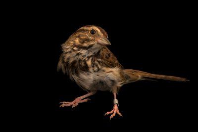 Photo: Savannah sparrow (Passerculus sandwichensis) at Bay Beach Wildlife Sanctuary