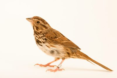 Photo: Savannah sparrow (Passerculus sandwichensis) at Bay Beach Wildlife Sanctuary