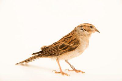 Photo: A chipping sparrow (Spizella passerina passerina) at Bay Beach Wildlife Sanctuary